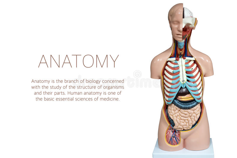 Mannequin humain d'anatomie d'isolement sur le fond blanc photographie stock libre de droits