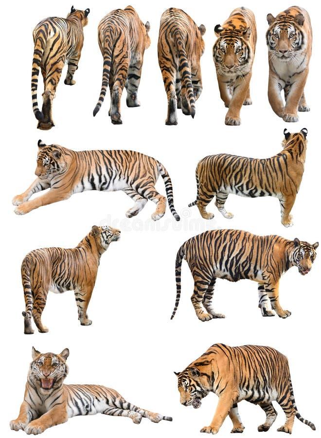 Mannetje en fefmale geïsoleerde de tijger van Bengalen royalty-vrije stock foto's