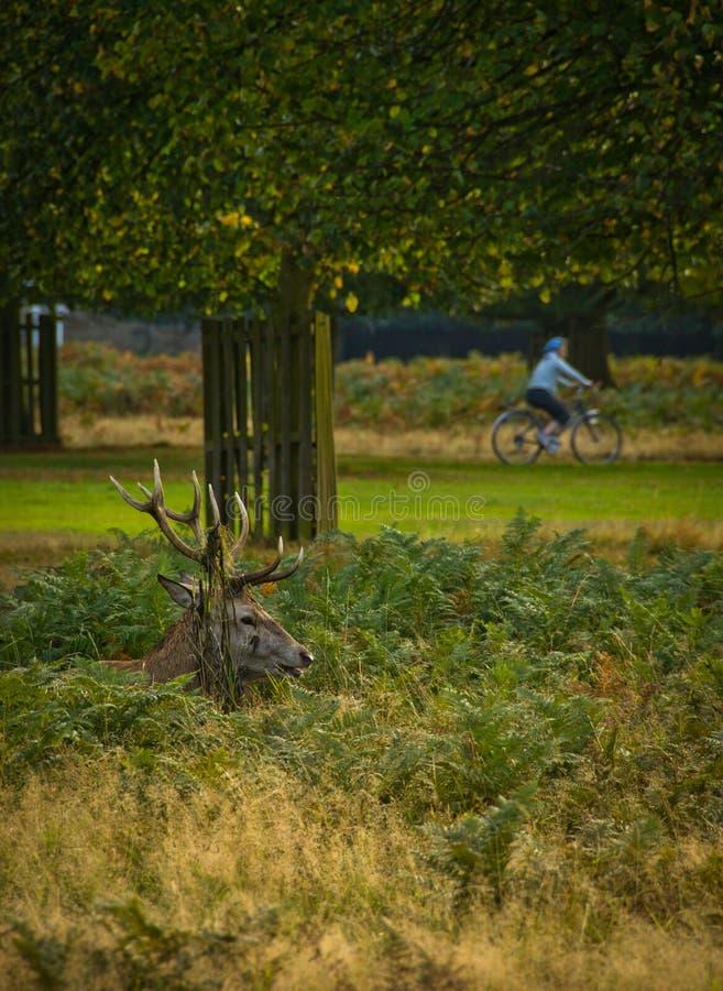 Mannetje in het Park van Londen royalty-vrije stock foto
