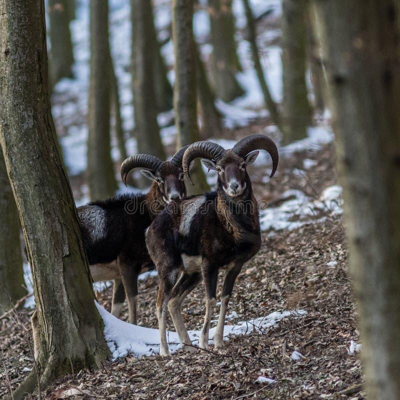 Mannetje mouflon in bos in de winter stock afbeelding