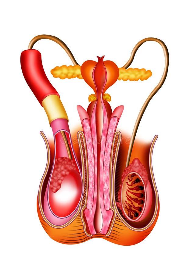 Mannetje orgons vector illustratie