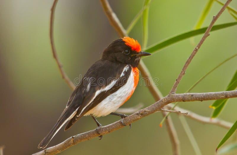 Mannetje rood-Afgedekte Robin royalty-vrije stock afbeelding