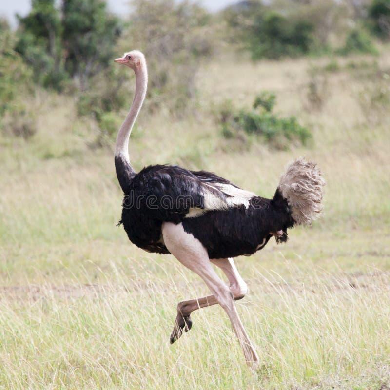 Mannetje van het Afrikaanse struisvogel lopen stock fotografie