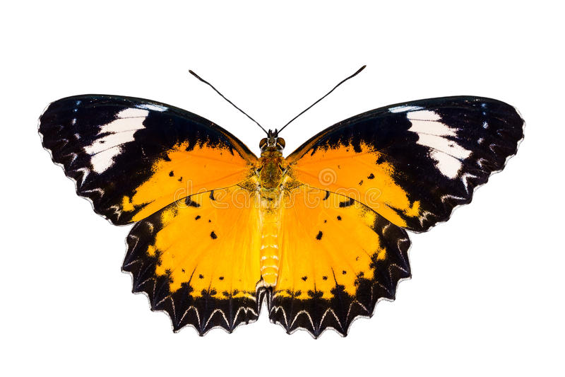 Mannetje van Luipaard lacewing vlinder op witte achtergrond stock afbeeldingen