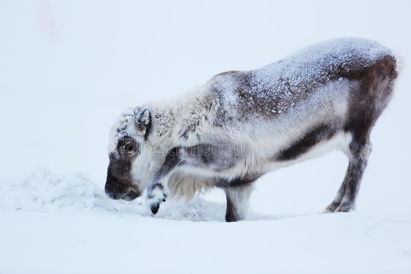 Mannetje van polair rendier op ijs stock fotografie