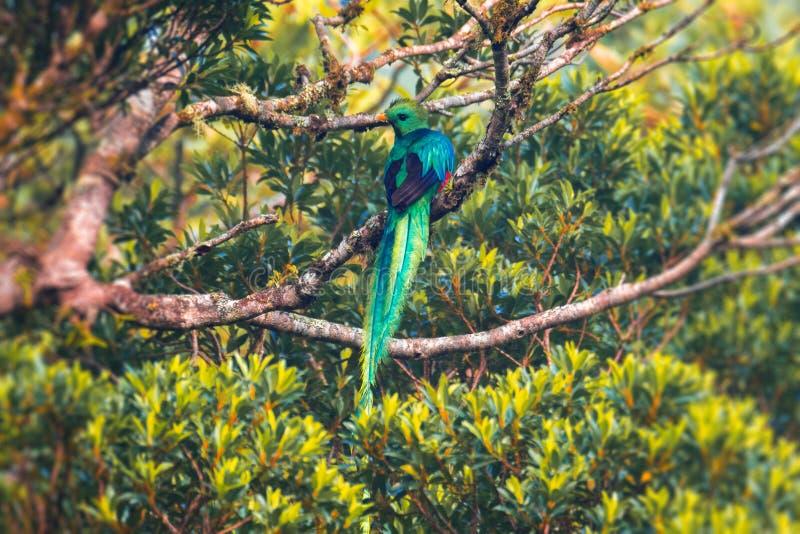 Mannetje van Schitterend quetzal royalty-vrije stock foto's