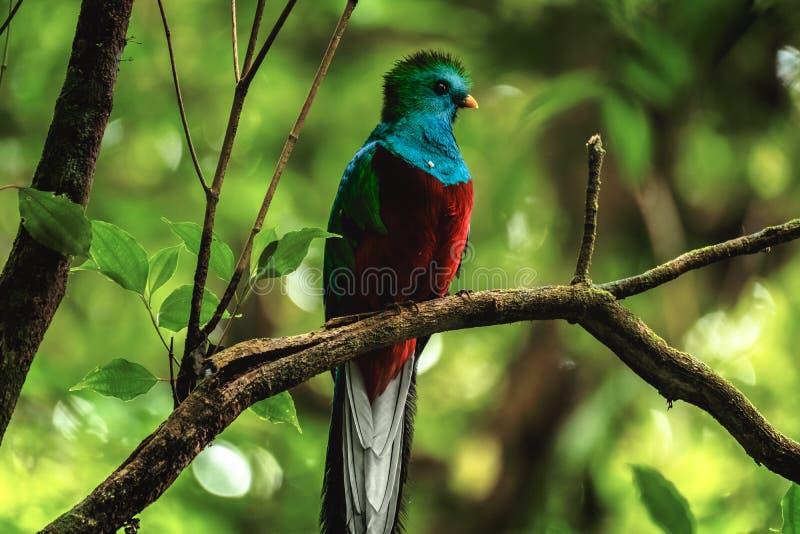 Mannetje van Schitterend quetzal stock foto
