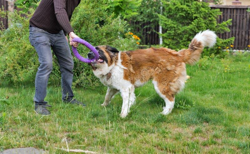 Mannspiele mit einem Moskau-Wachhund im Garten lizenzfreie stockbilder
