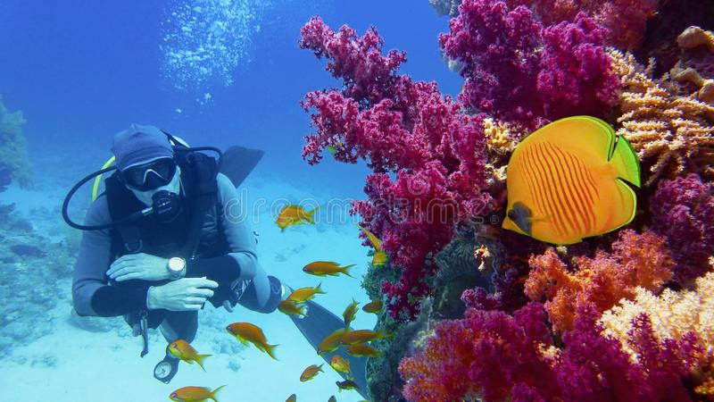 Mannsporttaucher nahe Korallenriff mit schönen purpurroten weichen Korallen und gelben Schmetterlingsfischen lizenzfreies stockfoto