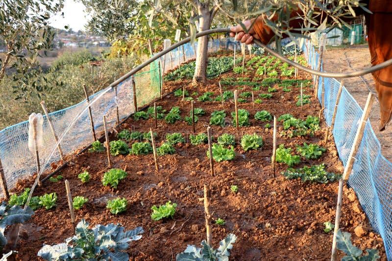 Mannwasserkopfsalat, der im Garten im Herbst wächst lizenzfreies stockfoto