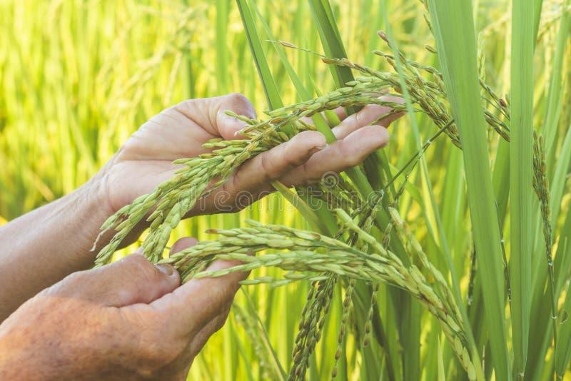 Mano asiatica della lavoratrice agricola che tocca sul suo giacimento del riso immagini stock libere da diritti