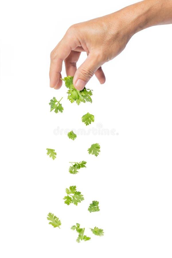 Mano che cade le foglie verdi del coriandolo fotografia stock