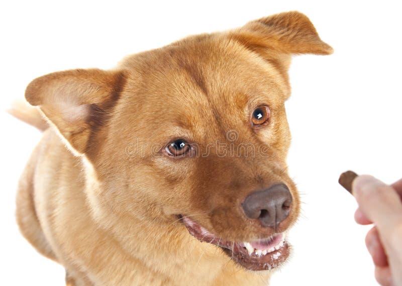 Mano che dà ossequio al cane fotografie stock libere da diritti