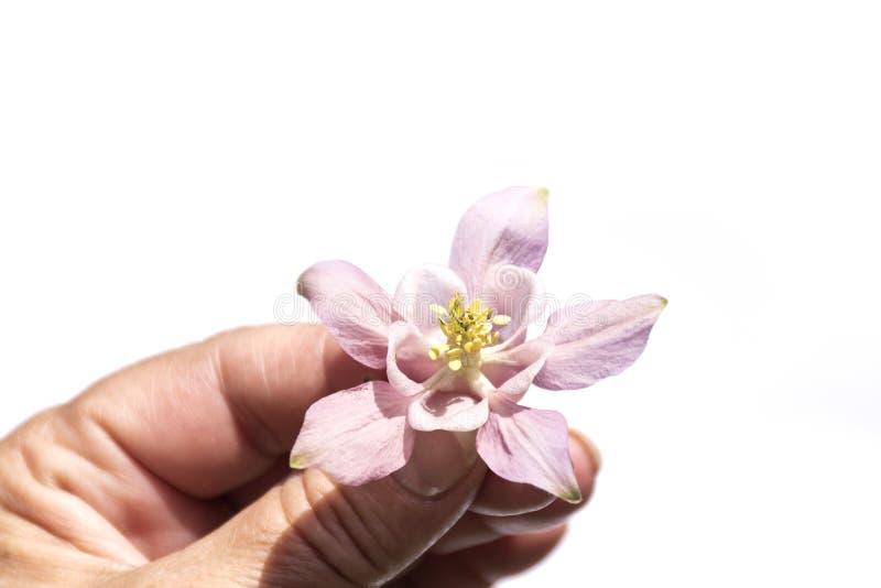 Mano che giudica fiore porpora rosa delicato isolato su fondo bianco, vista superiore, vista di prospettiva Mano che tiene colomb fotografia stock libera da diritti