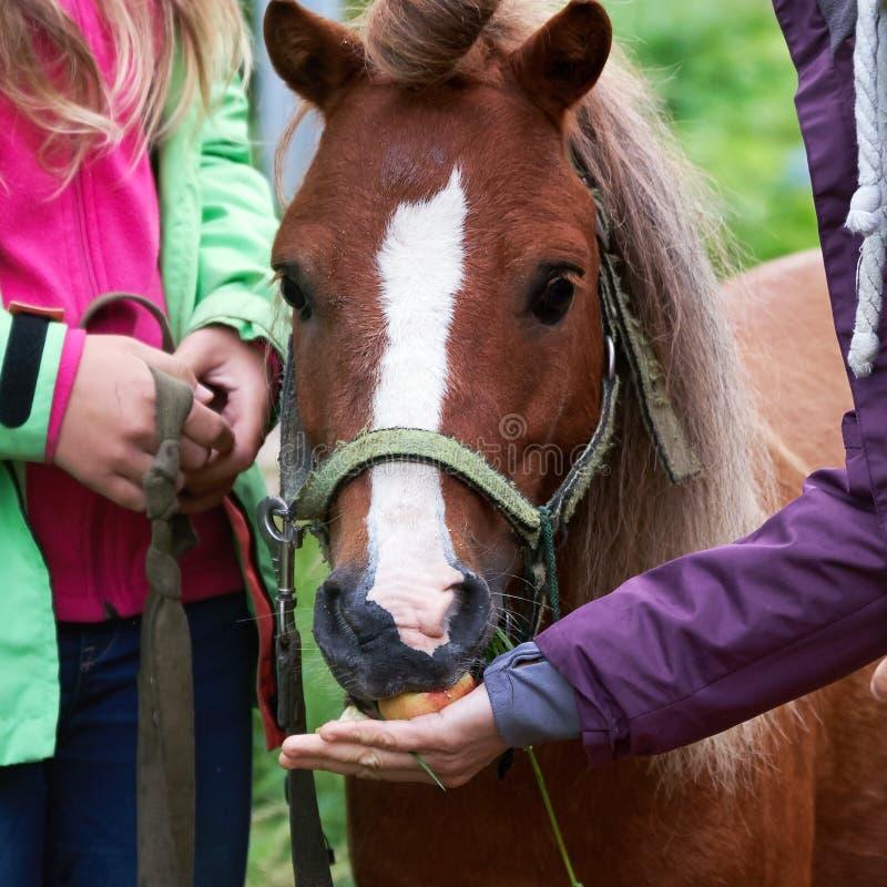 Mano che nutre una strana colt di pony con mele appena raccolte all'aperto d'estate immagine stock