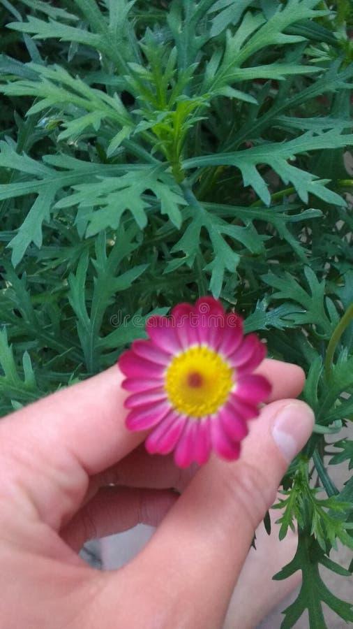Mano che tiene fiore rosa immagini stock