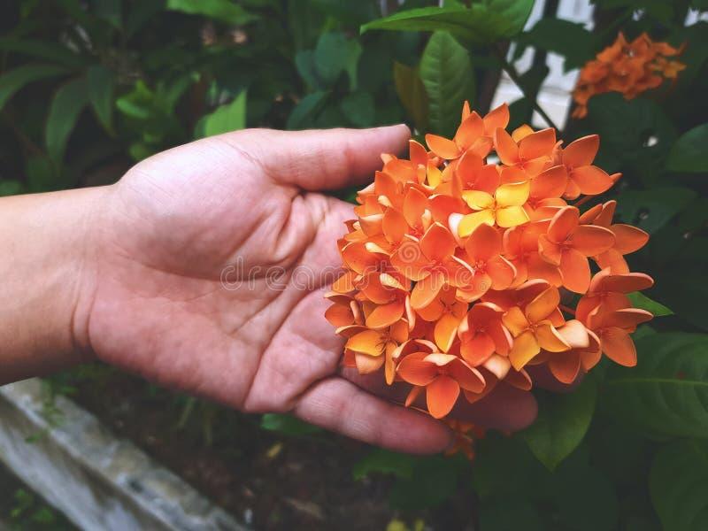 Mano che tiene il fiore arancio fresco di Ixora fotografie stock libere da diritti