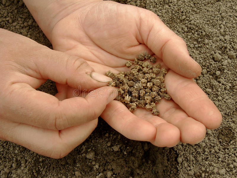 Mano con i semi delle barbabietole fotografia stock