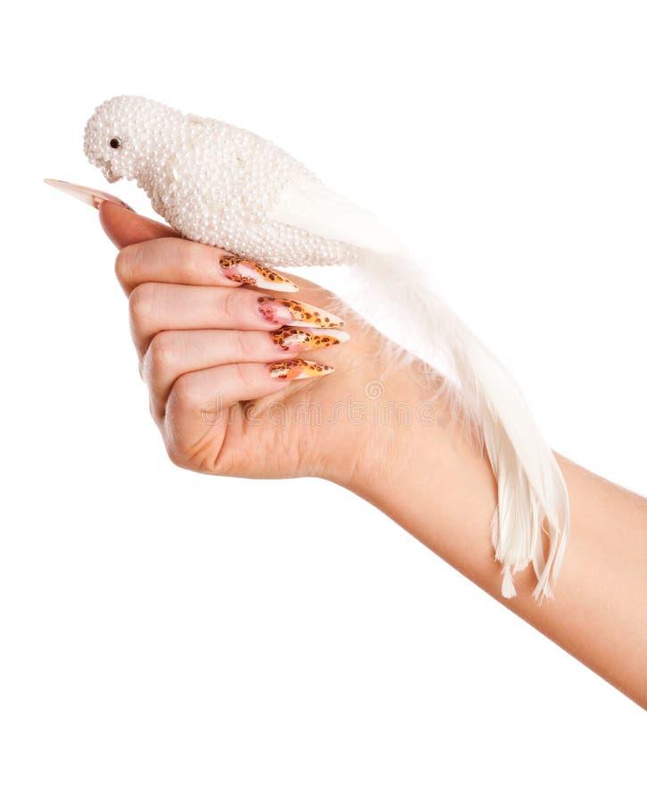 Mano con il bello pappagallo di bianco della stretta del manicure fotografia stock libera da diritti
