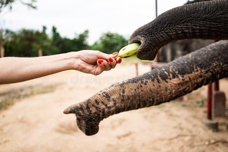 Mano con la banana che si alimenta all'elefante La mano della gente è alimentazione la banana al tronco dell'elefante in parco de fotografie stock