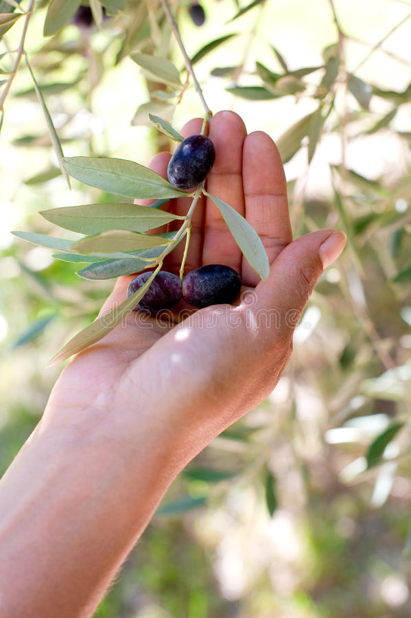 Mano con la rama de olivo foto de archivo libre de regalías