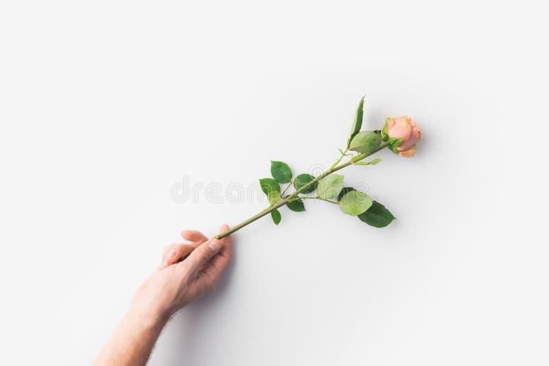 mano con la rosa di rosa isolata immagine stock