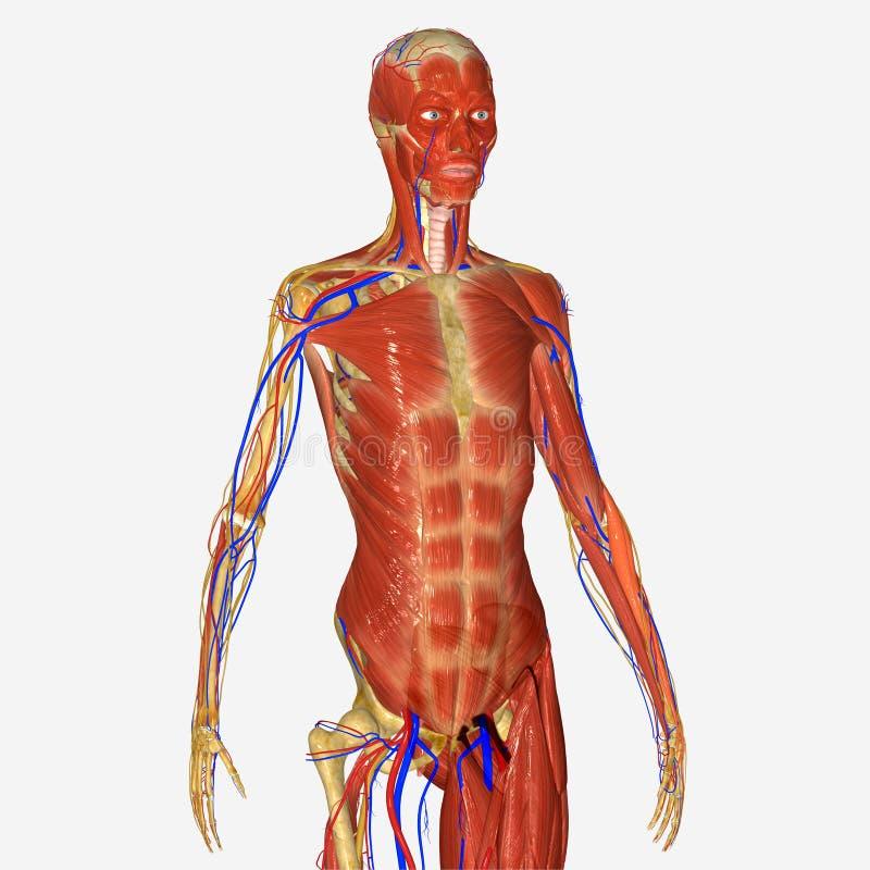 Mano con lo scheletro ed i muscoli illustrazione di stock