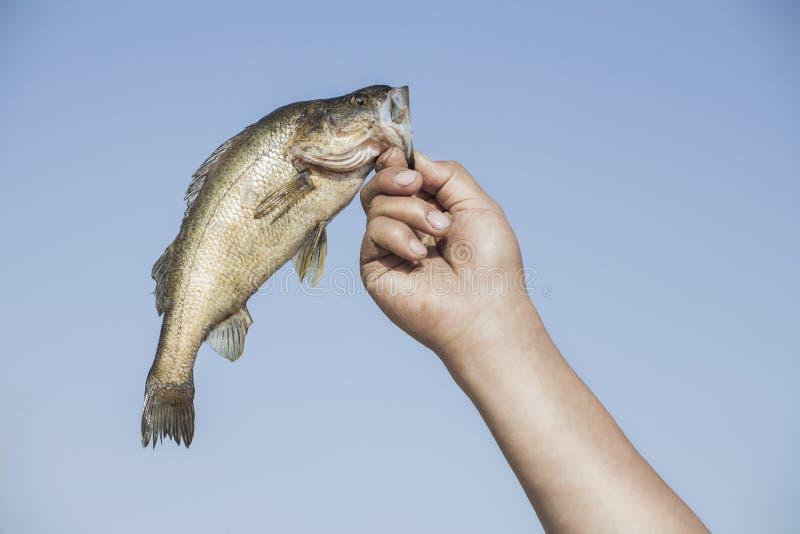Mano con los pescados foto de archivo