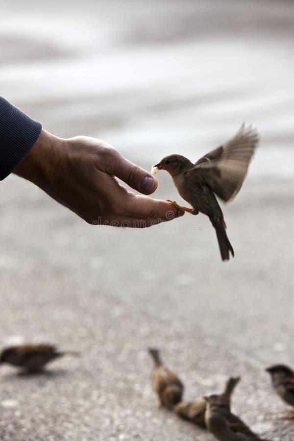 Mano d'alimentazione dell'uccello immagine stock