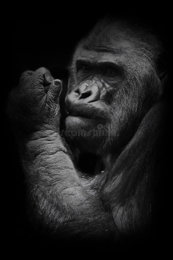 Mano de gran alcance La cara brutal del bozal de un gorila masculino potente y fuerte es un s?mbolo de la masculinidad y de la lo imagenes de archivo