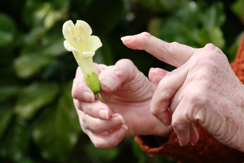 Mano de la artritis reumatoide y una flor imagen de archivo libre de regalías