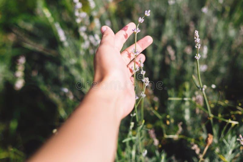 Mano de la muchacha que sostiene las flores hermosas de la lavanda en luz soleada en prado Campo de la lavanda en monta?as Hierba fotos de archivo libres de regalías