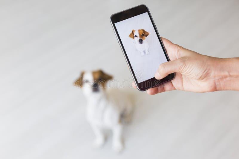 Mano de la mujer con el teléfono elegante móvil que toma una foto de un pequeño perro lindo sobre el fondo blanco Dentro retrato  fotos de archivo libres de regalías