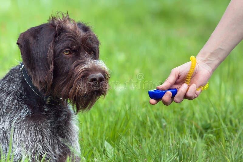 Mano de la mujer que entrena al perro joven con el clicker imagen de archivo libre de regalías