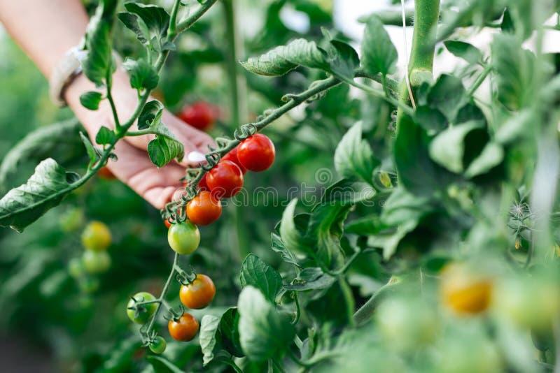 Mano de la mujer que escoge los tomates de cereza rojos maduros en granja de la casa verde imágenes de archivo libres de regalías