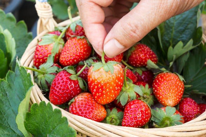 Mano de la mujer que escoge una fresa en una cesta foto de archivo libre de regalías