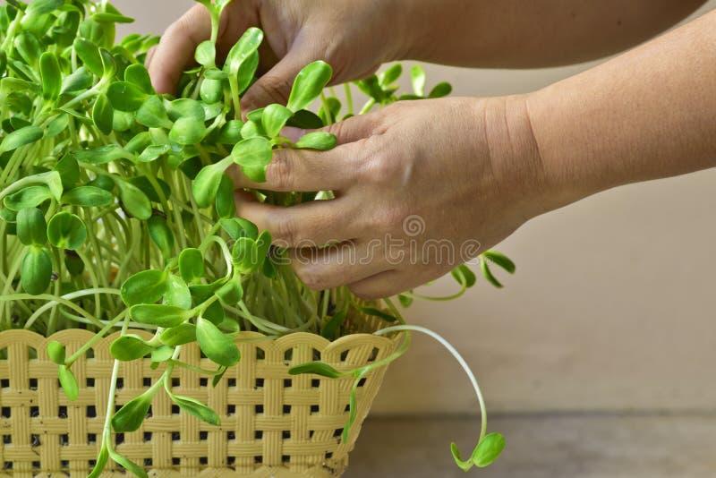 Mano de la mujer que produce el brote verde del girasol en cesta en casa fotografía de archivo