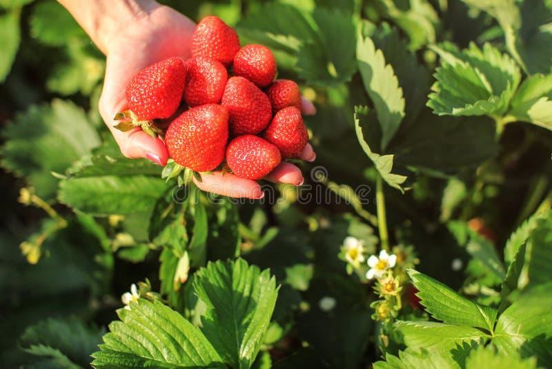 Mano de la mujer que sostiene el puñado de fresas maduras, apenas cosechado imagen de archivo