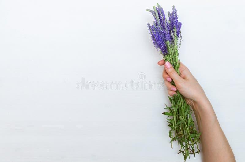 Mano de la mujer que sostiene el ramo de longfolia del Veronica de los wildflowers imágenes de archivo libres de regalías