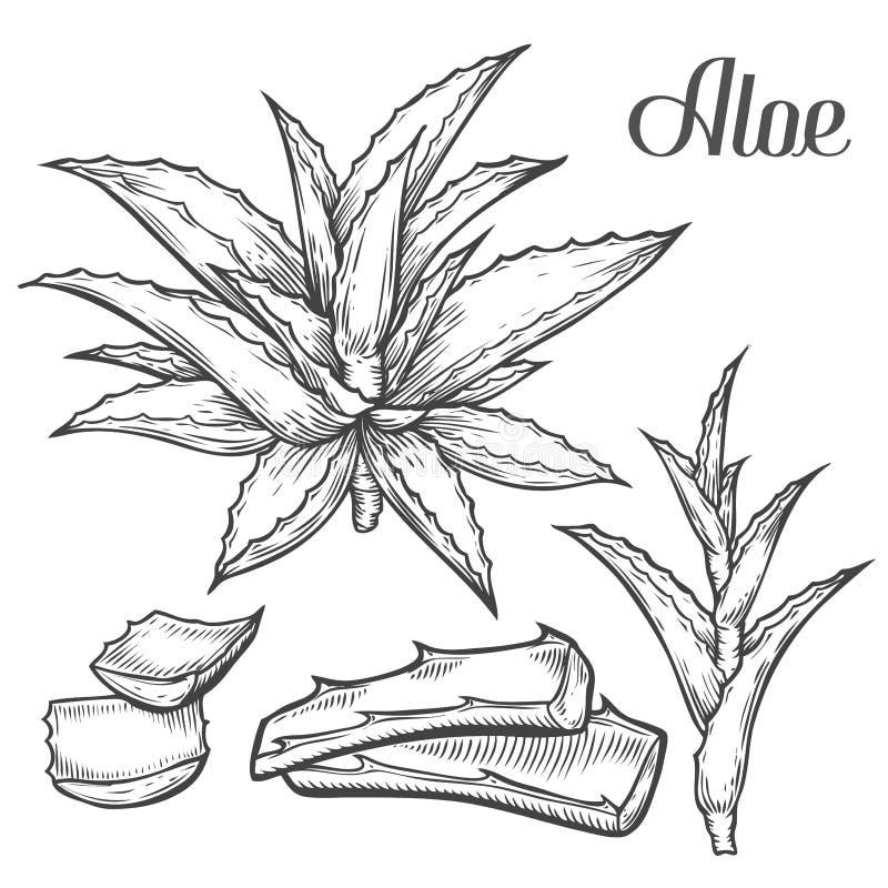 Mano de la planta de Vera del áloe dibujada grabando el ejemplo del vector en el fondo blanco Ingrediente para la medicina tradic stock de ilustración