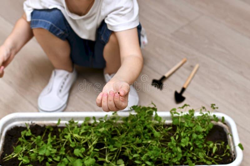 Mano de un niño con la semilla unsprouted del cilantro fotos de archivo libres de regalías