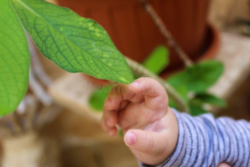 Mano del bambino che tocca una foglia della pianta fotografia stock
