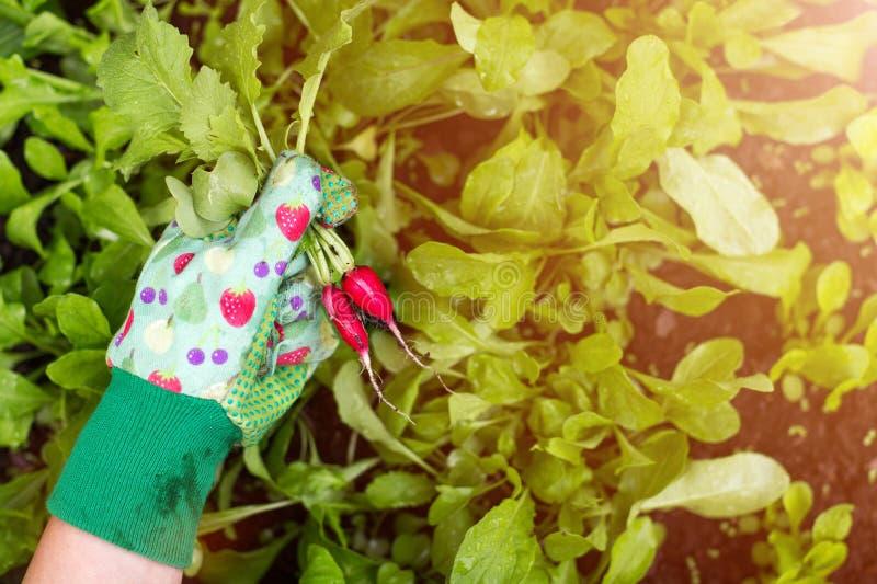 Mano del giardiniere che tiene i ravanelli di recente tirati immagini stock