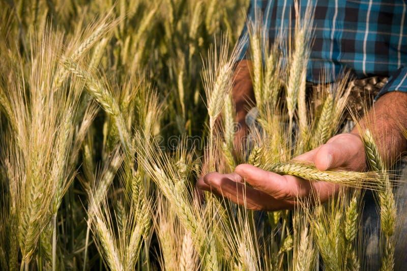 Mano del granjero en campo de trigo fotos de archivo