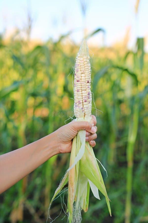 Mano del granjero que sostiene maíz de peladura fresco en la plantación de la agricultura fotos de archivo libres de regalías