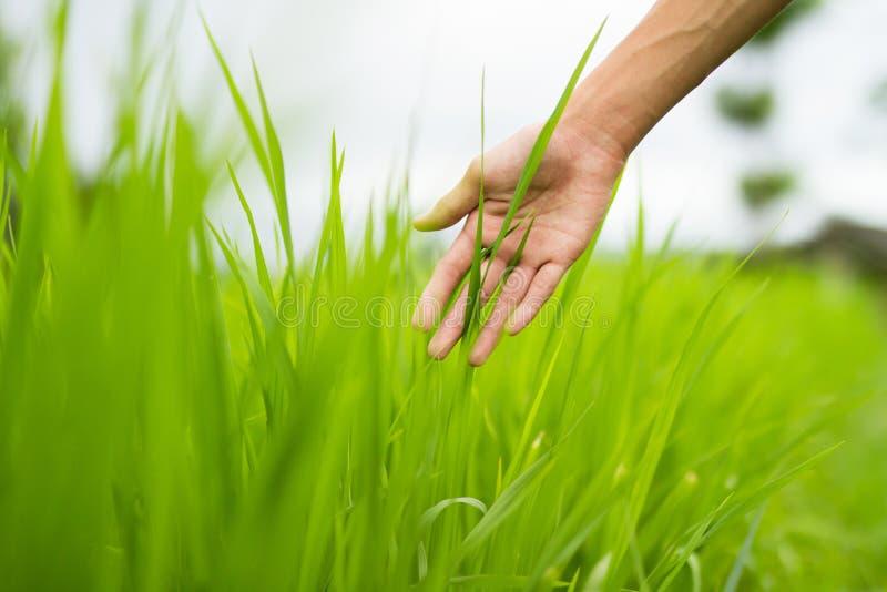 Mano del hombre joven o de la mujer que toca la hoja verde de la hierba en los campos del prado imagen de archivo libre de regalías