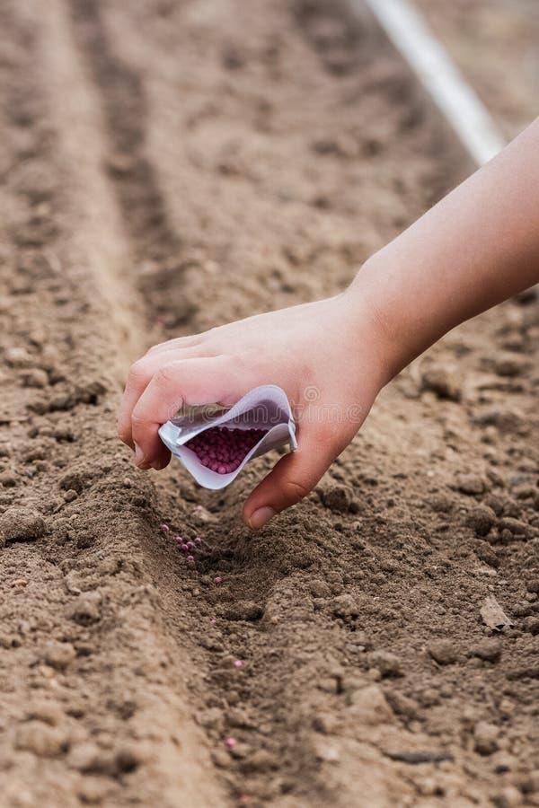 Mano del niño que planta las semillas del rábano imagen de archivo