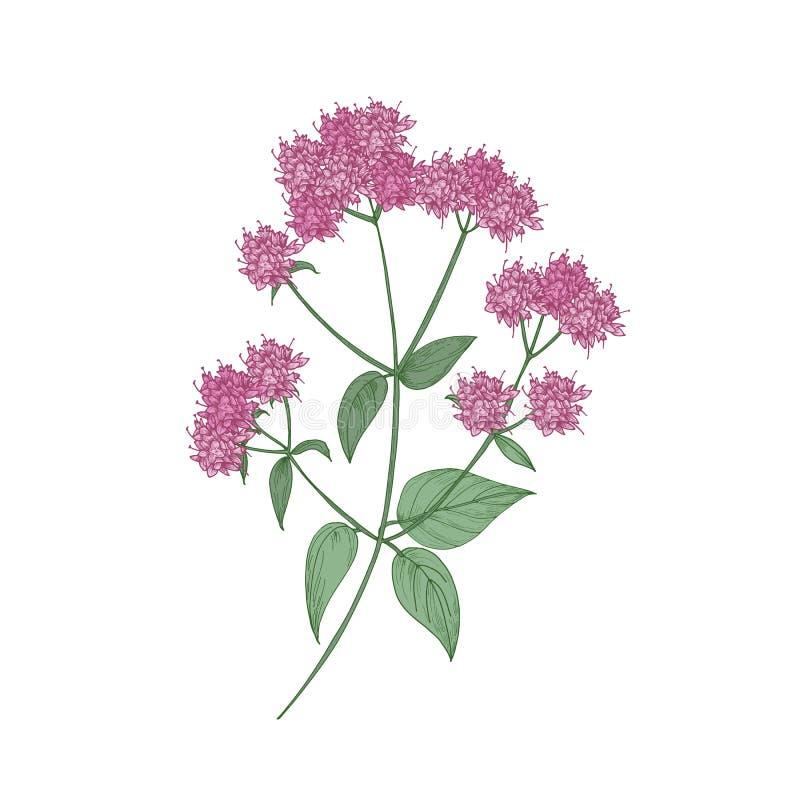 Mano del orégano o de la mejorana dibujada en el fondo blanco Dibujo botánico de la planta herbácea floreciente hermosa o libre illustration