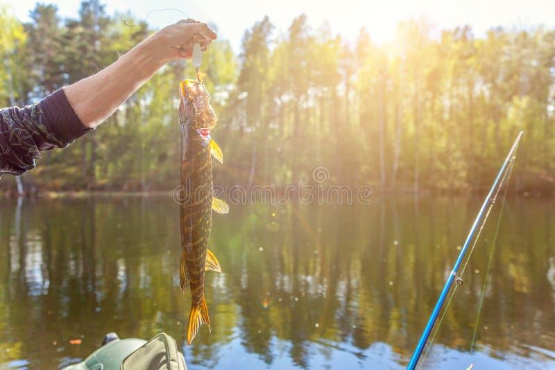 Mano del pescatore con il luccio del pesce contro fondo di bello natura e lago o fiume fotografia stock