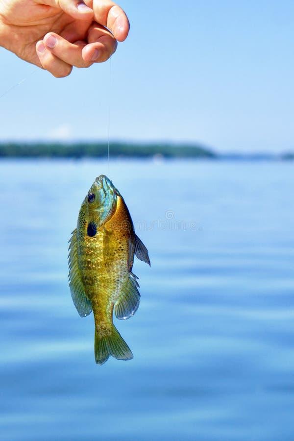 Mano del pesce pescato tenuta del pescatore fotografia stock